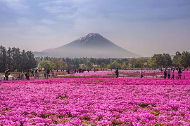 Fields Of Shibazakura – one of the best